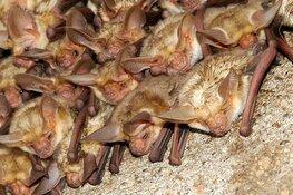 Help het onderzoek naar vleermuizen in Heerhugowaard