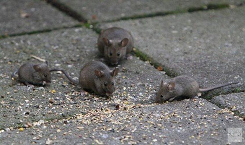 Muizenplaag in Schrijverswijk: Bewoners beginnen actie tegen Woonwaard