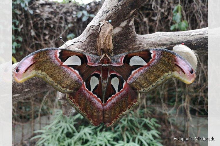 Wederom Atlasvlinder geboren in Vlindorado
