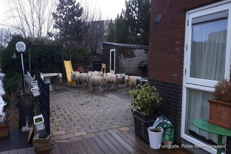Bewoners Heerhugowaard schrikken van wollige insluipers in de tuin