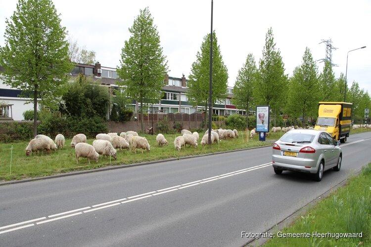 Schapen verhuizen naar Broekhorn