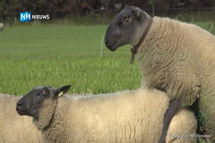 """Kordaat is een van de mooiste schapen van Nederland: """"Hij is populair bij de vrouwen"""""""
