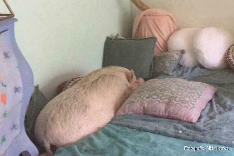 Tachtig kilo aan knorrende liefde: warm thuis voor varken Susie gezocht